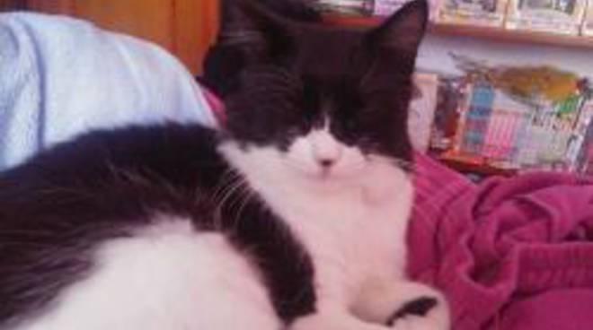 Smarrito Chicco Appello Per Trovare Un Gatto Bianco E Nero