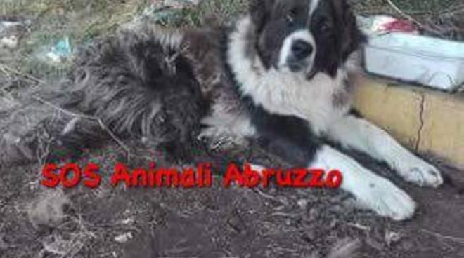 peo-pastore-del-caucaso-smarrito-132432