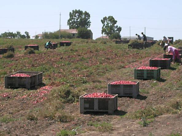 pomodori cassoni