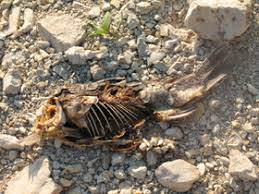 carpa morta liscione 2010-2011