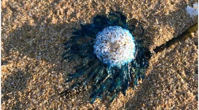 medusa-purpita-137558