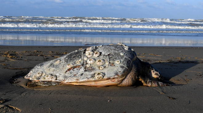 tartaruga-morta-litorale-nord-143905