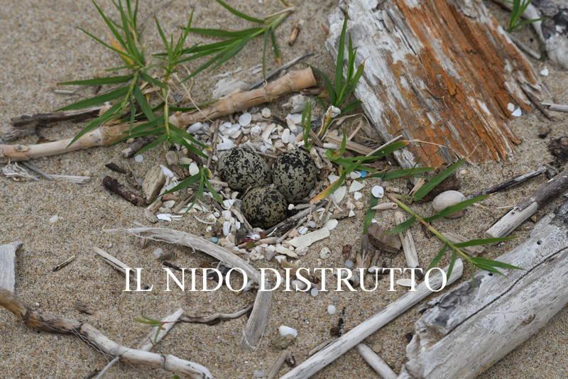 nido di fratino distrutto