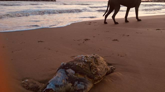 Tartaruga lido panfilo