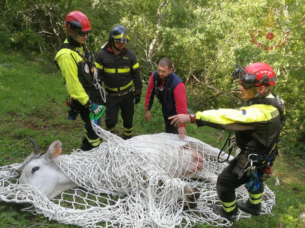 mucca-salvata-elicottero-vigili-del-fuoco-150878