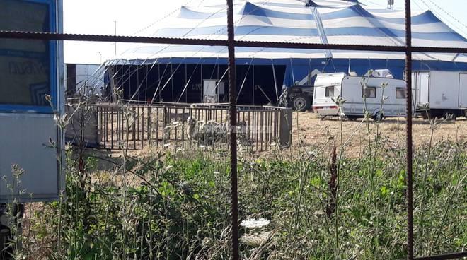 Circo Wigliams animali