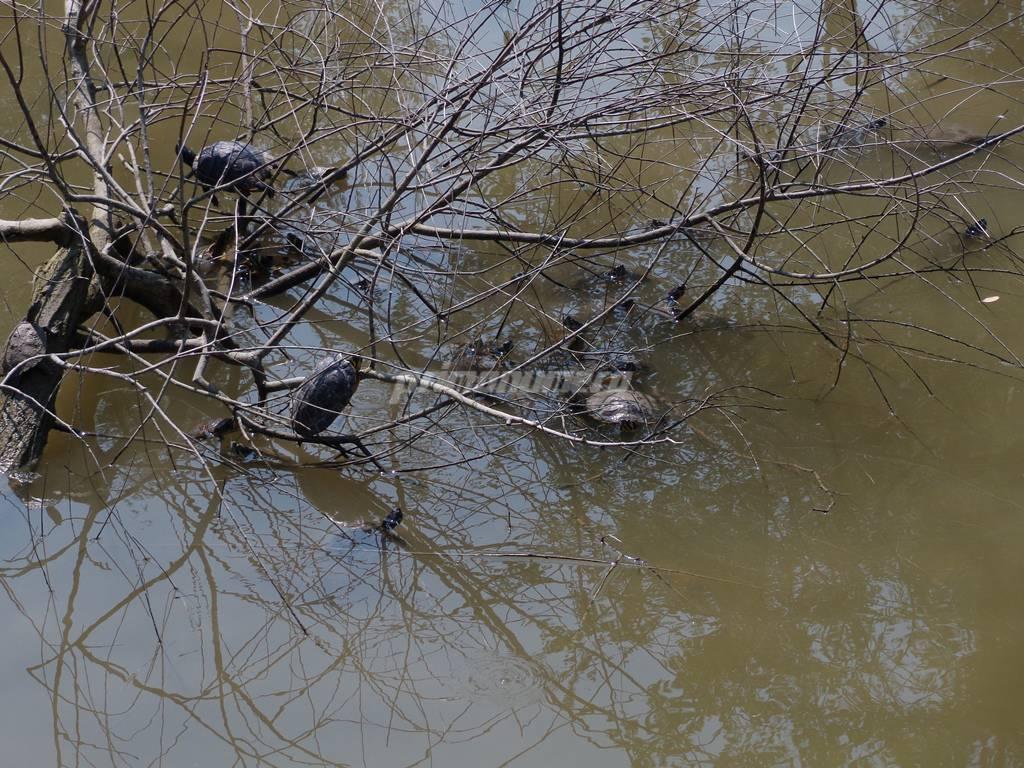 pulizia, laghetto, parco comunale, tartarughe