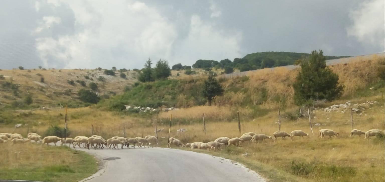 pecore strada capracotta