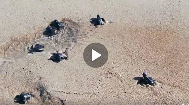 tartaruga-caretta-caretta-campomarino-161101