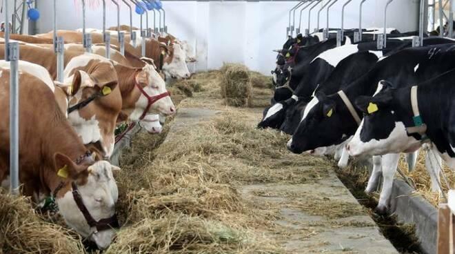 stalla vacche