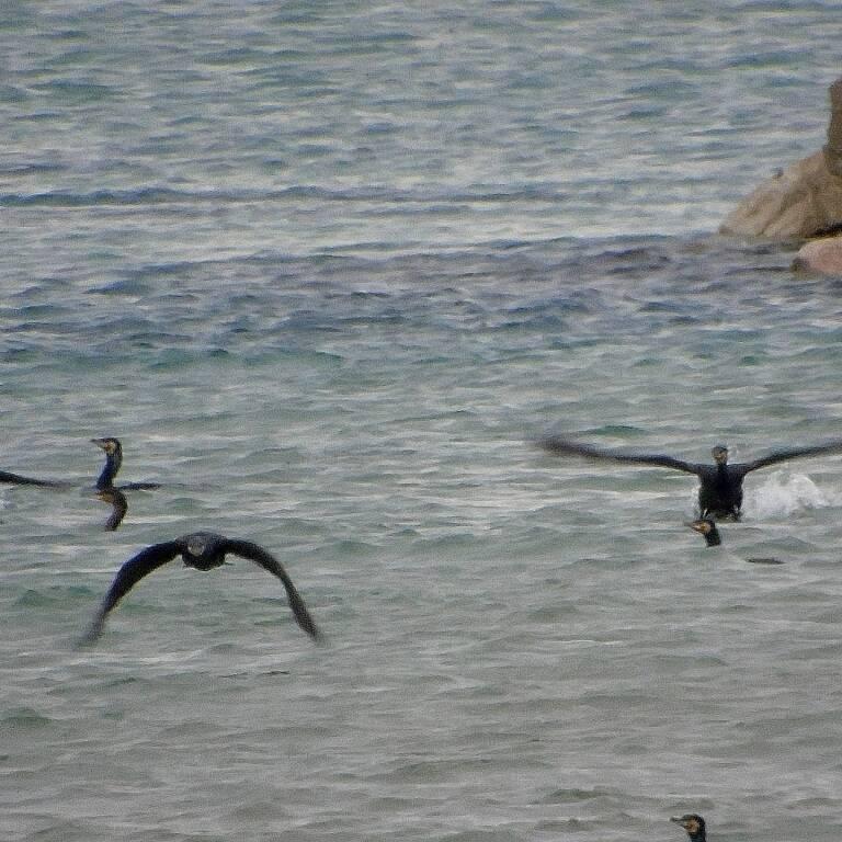 Cormorani lungomare nord