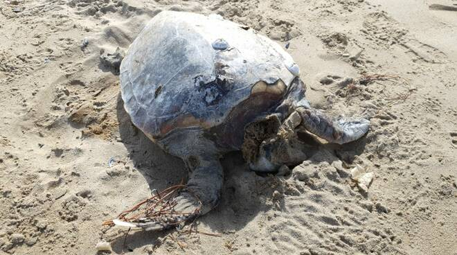 Tartaruga spiaggiata Petacciato