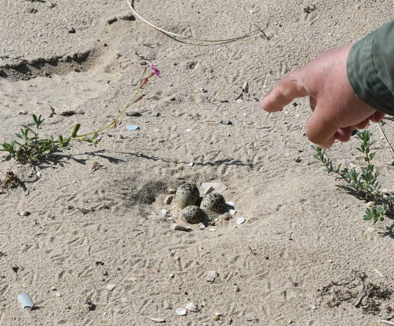 uova fratino spiaggia