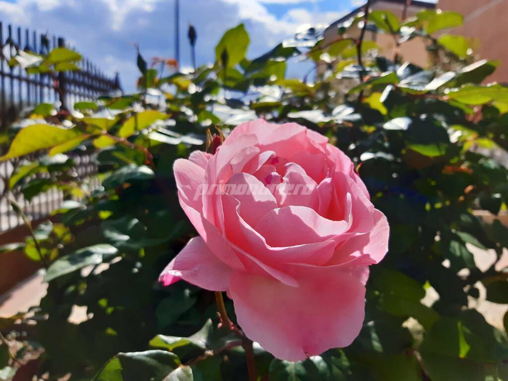 Rosa giardino