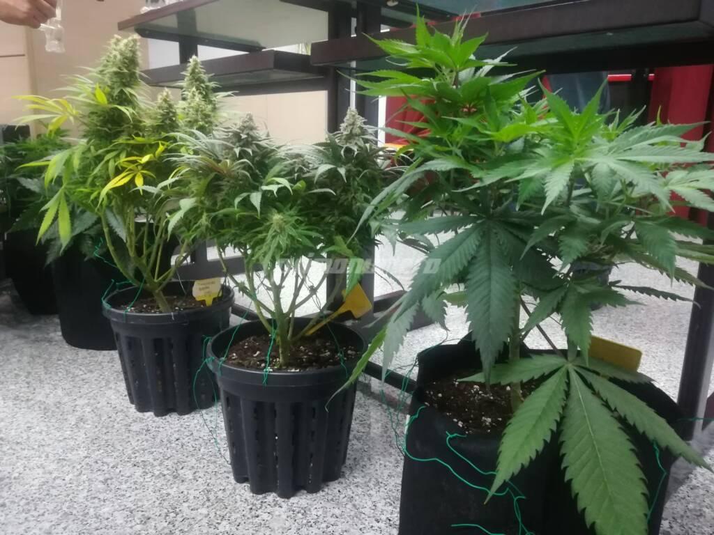 marijuana arresto conferenza questura