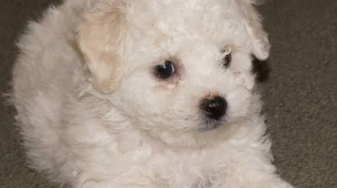 barboncino cane truffa