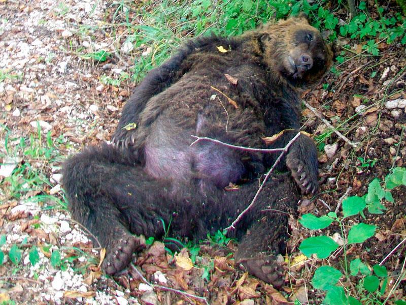 orso marsicano ucciso pettoranello sul gizio