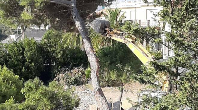 pino secolare abbattuto a Termoli