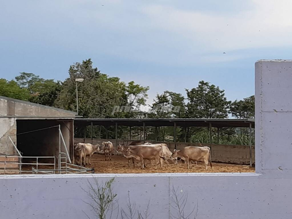 vacche azienda di vaira