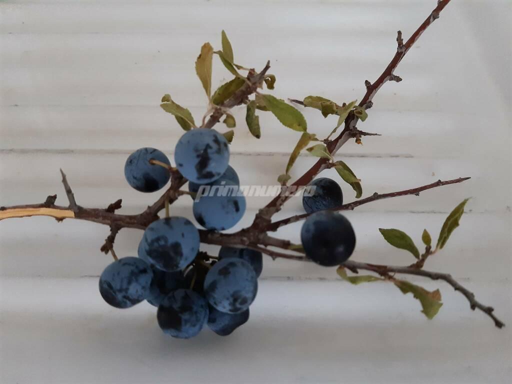 Prunus prugnolino bacche