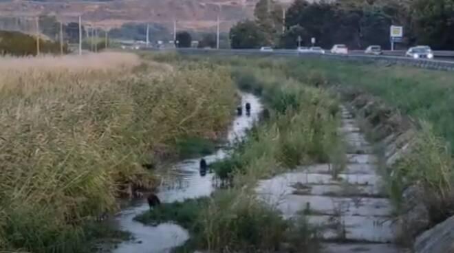 cinghiali canali rio vivo