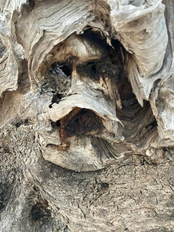 colletorto pianta ulivo