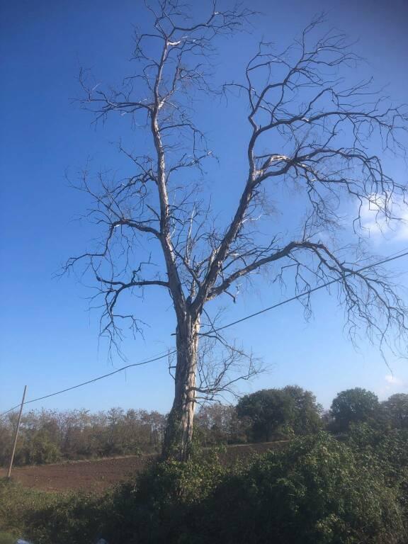 Alberi eucalipti strage