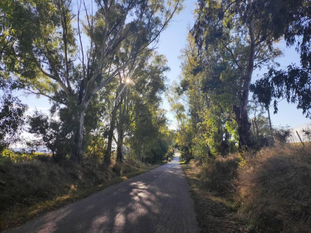 Eucalipti tagliati Campomarino