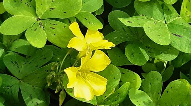 fiore trifoglio giallo