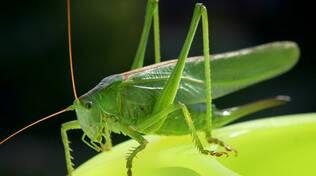 grillo verde insetto