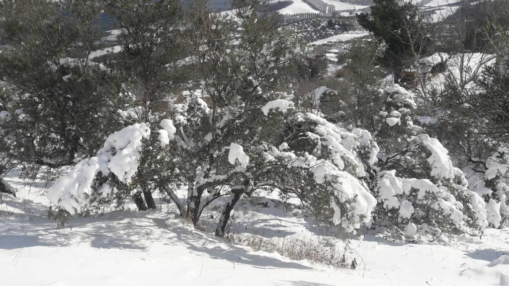 neve colletorto ulivi febbraio 21