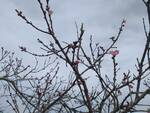 Albero fioritura cielo grigio meteo nuvoloso