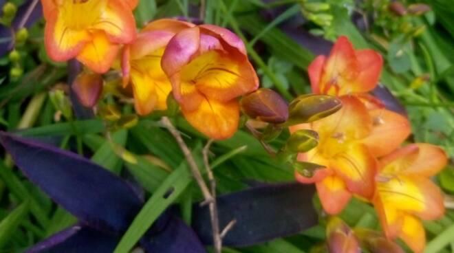 fresie fiori arancioni primavera