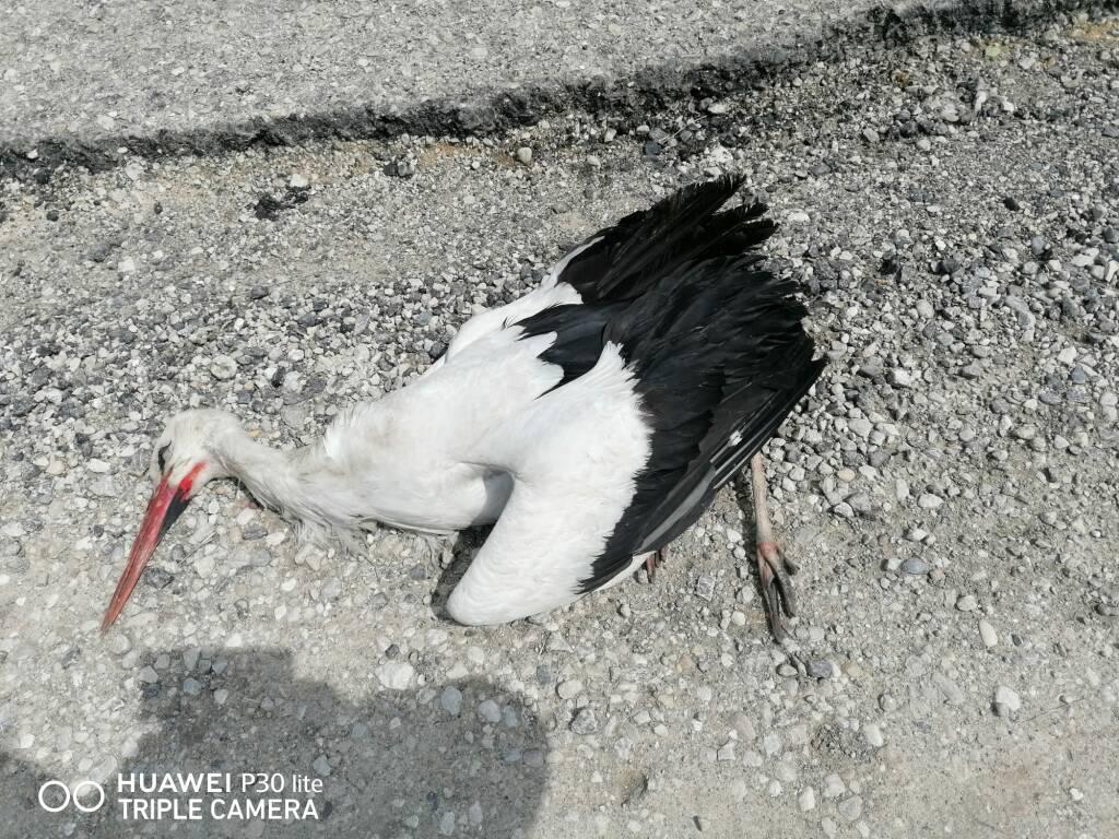 cicogna bianca morta