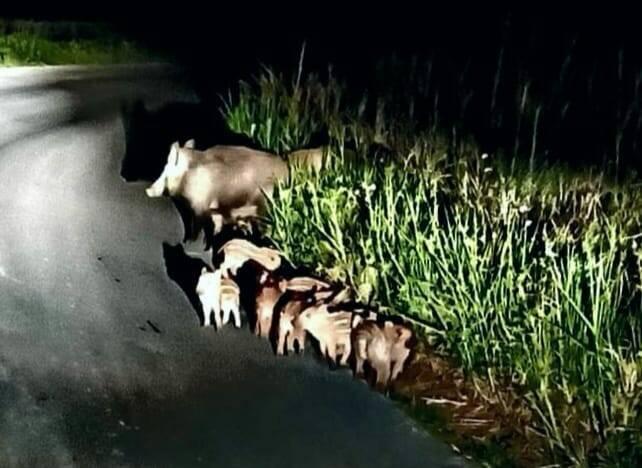 cinghiali cuccioli notte strada