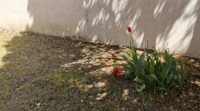 Furto di tulipani Guglionesi