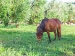 sos cavallo isotta