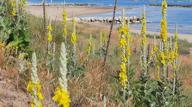 candela del re fiore spiaggia termoli