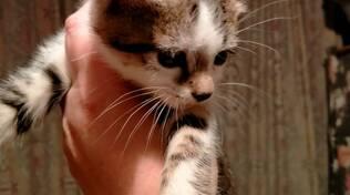 gattino wisky