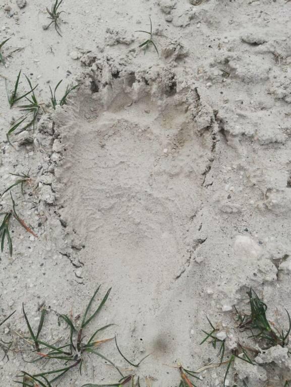 Tracce orso marsicano lucito