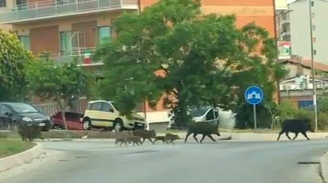 Cinghiali via la banca a Campobasso