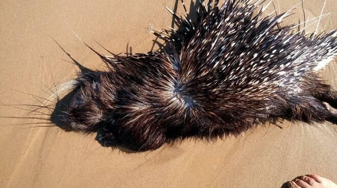 istrice morto spiaggia
