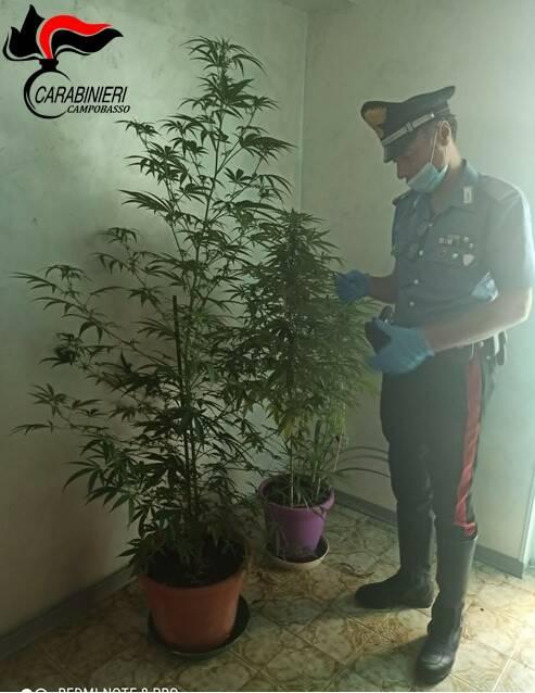 droga marijuana carabinieri
