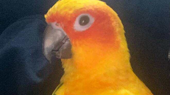 sos pappagallo