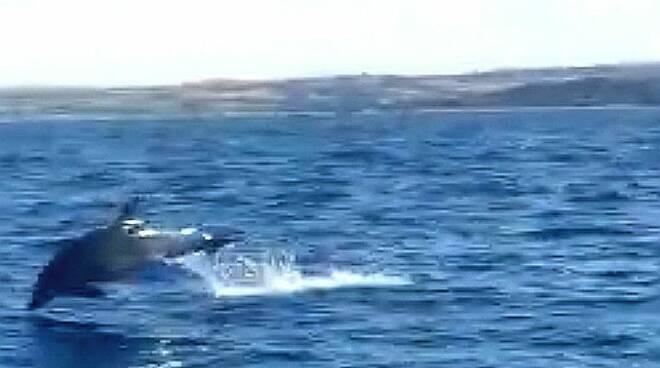 Delfini mare Termoli