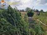 Piantagione marijuana finanza erba