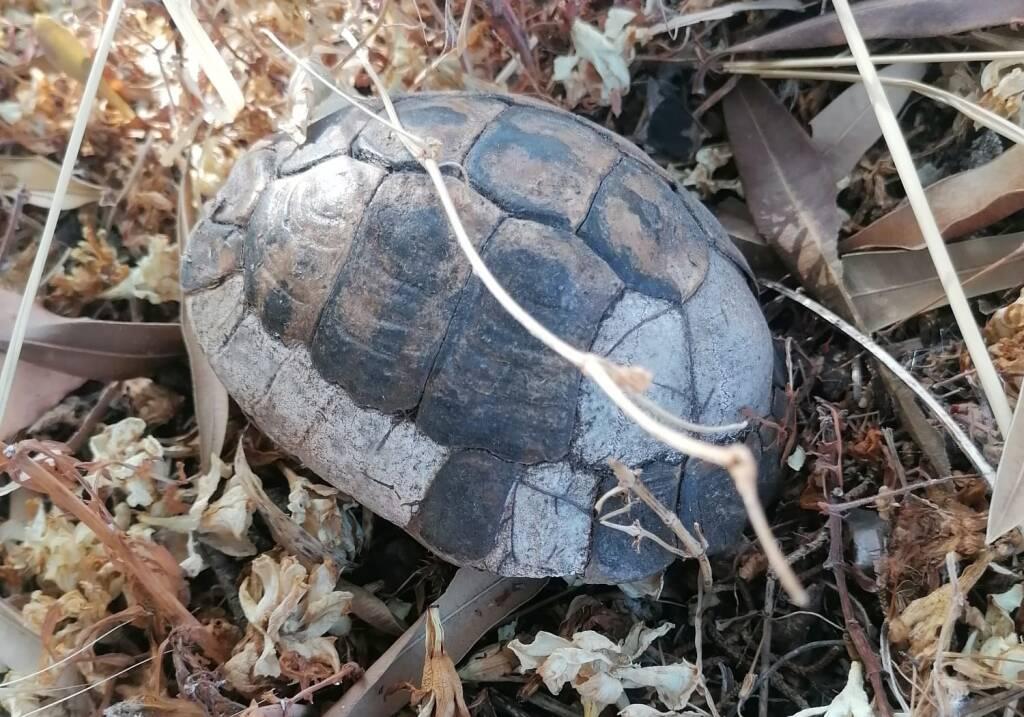 Testuggini esplose incendio Pineta Campomarino tartarughe carapaci