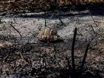 Testuggini Pineta Campomarino incendio tartarughe esplose carapaci