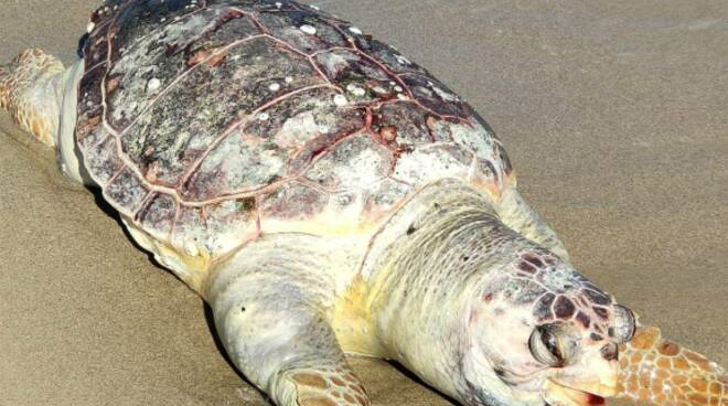 tartaruga spiaggiata campomarino