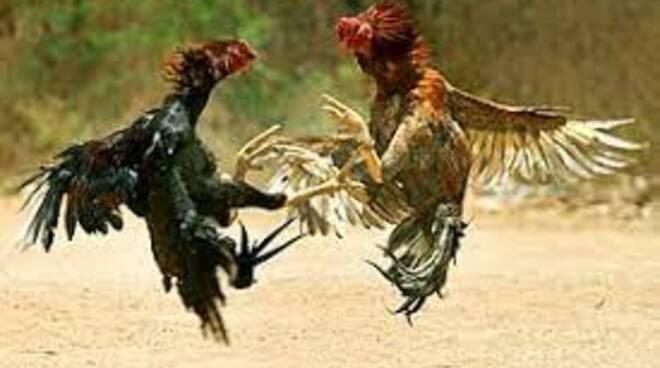 gallo contro gallo